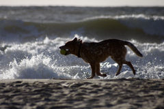 Sylt. AUGUST 2011 - SYLT: a dog at the North Sea beach near Kampen in Sylt, Germany Stock Photo