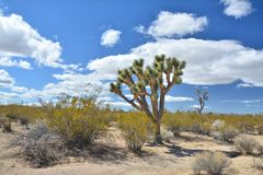 Sylt för Mojave för growingat för Joshua träd nationell royaltyfria foton