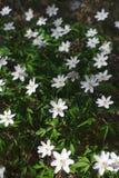 Sylvan Anemone, Wood Anemone or Sylvester Anemone nemorosa stock photos