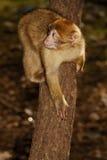 巴贝里猿(猕猴属sylvanus)在近雪松木头 图库摄影