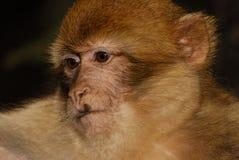 巴贝里猿(猕猴属sylvanus)在近雪松木头 免版税库存照片