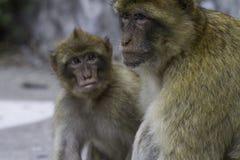 Sylvanus de Macaca de singe de Barbarie sur le rocher de Gibraltar photo libre de droits