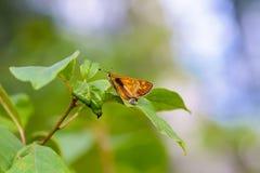 Sylvanus dei ochlodes della farfalla di Brown Fotografia Stock