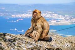 Sylvanus del Macaca Imagen de archivo libre de regalías