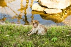 Sylvanus del Macaca del macaco di Barbary immagini stock libere da diritti