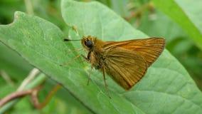 Sylvanus di Ochlodes, una farfalla dei hesperiidae della famiglia immagini stock libere da diritti