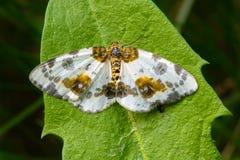 Sylvata repéré d'abraxas de papillon photos libres de droits