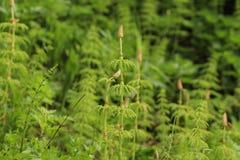 Sylvaticum do equiseto do horsetail de madeira Uma floresta diminuta fotografia de stock royalty free