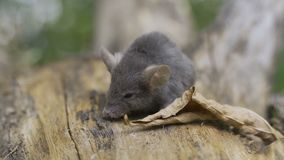 Sylvaticus del Apodemus del ratón de campo en Forest Floor en él hábitat natural del ` s almacen de video