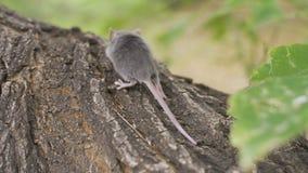 Sylvaticus del Apodemus del ratón de campo en Forest Floor en él hábitat natural del ` s metrajes
