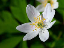 sylvestris άνοιξη λουλουδιών anemone πρώτα πρώτη άνοιξη λουλουδιών Στοκ Εικόνες