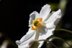 sylvestris άνοιξη λουλουδιών anemone πρώτα Στοκ φωτογραφία με δικαίωμα ελεύθερης χρήσης