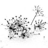 Sylvestris της Angelica Στοκ φωτογραφίες με δικαίωμα ελεύθερης χρήσης
