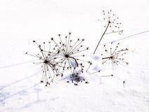 Sylvestris της Angelica Στοκ εικόνα με δικαίωμα ελεύθερης χρήσης