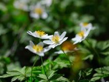 sylvestris весны цветков ветреницы первые первая весна цветков Стоковое Изображение RF