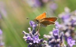 Sylvestris красивые малые Thymelicus бабочки шкипера nectaring на милой лаванде цветут Стоковое Изображение