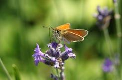 Sylvestris красивые малые Thymelicus бабочки шкипера nectaring на милой лаванде цветут Стоковое фото RF