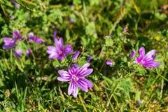 锦葵属sylvestris或共同的冬葵 免版税库存图片
