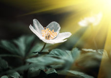 Sylvestris Anemone. Πρώτα λουλούδια άνοιξη Στοκ εικόνα με δικαίωμα ελεύθερης χρήσης