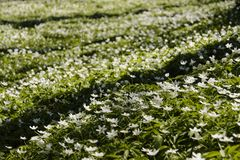 Sylvestris Anemone, σε μια σειρά Λουλούδια Στοκ Εικόνες