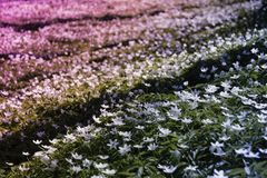 Sylvestris Anemone, σε μια σειρά Λουλούδια Στοκ εικόνα με δικαίωμα ελεύθερης χρήσης
