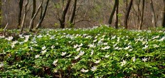 sylvestris anemone Στοκ Φωτογραφίες