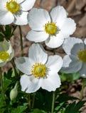 sylvestris anemone Στοκ εικόνες με δικαίωμα ελεύθερης χρήσης