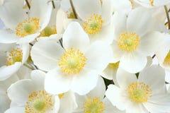 Sylvestris Anemone (snowdrop anemone) Στοκ εικόνα με δικαίωμα ελεύθερης χρήσης
