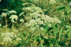 Sylvestris Anthriscus μαϊντανού αγελάδων - άσπρο λουλούδι θερινών τομέων Στοκ Εικόνες