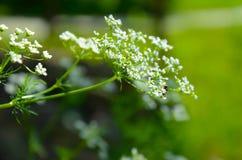 Sylvestris Anthriscus μαϊντανού αγελάδων - άσπρο λουλούδι θερινών τομέων Στοκ Εικόνα
