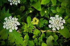 Sylvestris Anthriscus μαϊντανού αγελάδων - άσπρο λουλούδι θερινών τομέων Στοκ Φωτογραφία