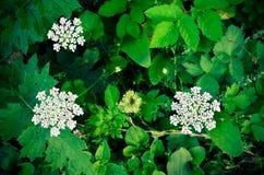 Sylvestris Anthriscus μαϊντανού αγελάδων - άσπρο λουλούδι θερινών τομέων Στοκ φωτογραφία με δικαίωμα ελεύθερης χρήσης