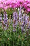 Sylvestris ?colinas azules? de Salvia x Imagen de archivo libre de regalías