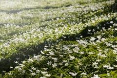 Sylvestris d'anémone, dans une rangée Fleurs Photographie stock