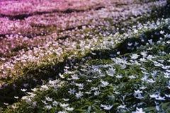 Sylvestris d'anémone, dans une rangée Fleurs Image libre de droits