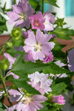 Sylvestris de Malva Photo stock