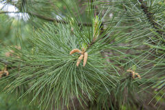 Sylvestris de pinus image libre de droits