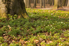 Sylvestris del Anemone Fotografia Stock