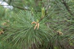 Sylvestris del pinus Imagen de archivo libre de regalías