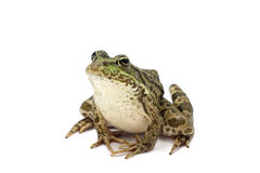 Sylvestris green frog Stock Images