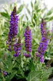 Sylvestris «nuit de Salvia X de mai» Photographie stock