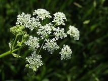 Sylvestris van bloemenanthriscus stock afbeeldingen