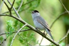 莺(Sylvia atricapilla) 库存图片