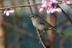 Sylvia atricapilla. Sparrow that is on a branch above peach blossoms Stock Photos