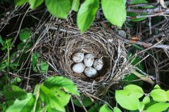 Sylvia curruca. The nest of the Lesser Whitethroat in nature. Stock Images