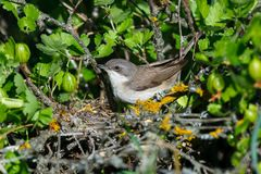 Sylvia curruca. The nest of the Lesser Whitethroat in nature. Stock Photography