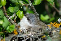 Sylvia curruca. The nest of the Lesser Whitethroat in nature. Royalty Free Stock Image