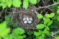 Sylvia Curruca. The Nest Of The Lesser Whitethroat In Nature. Royalty Free Stock Images