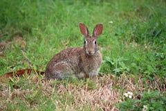 Sylvilagus floridanus de lapin de lapin oriental photographie stock libre de droits