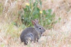 Sylvilagus vigilant de lapin de lapin mâchant l'herbe sous la pluie photos stock